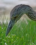 Black-crowned Night-Heron  (Juv)