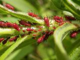 aphids-1.jpg