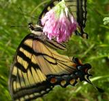 Tiger Swallowtail with badly torn wings
