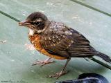 Rockin' Robin aka Squeaky