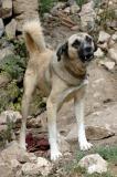 Amasya dog