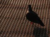 Pigeon on walkway in Morro Bay, CA