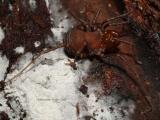 Paranuncia gigantea, a giant Opilionid