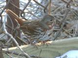 Fox Sparrow (Red)