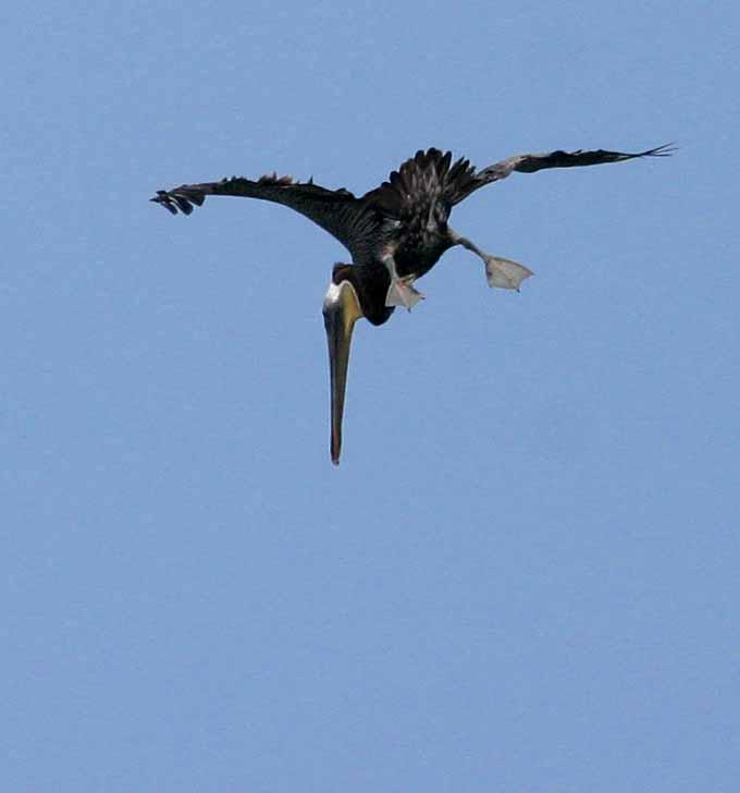 IMG_9811 pelicans.jpg