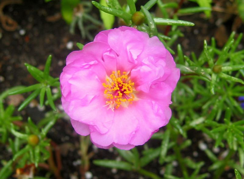 Portulaca or Rose Moss