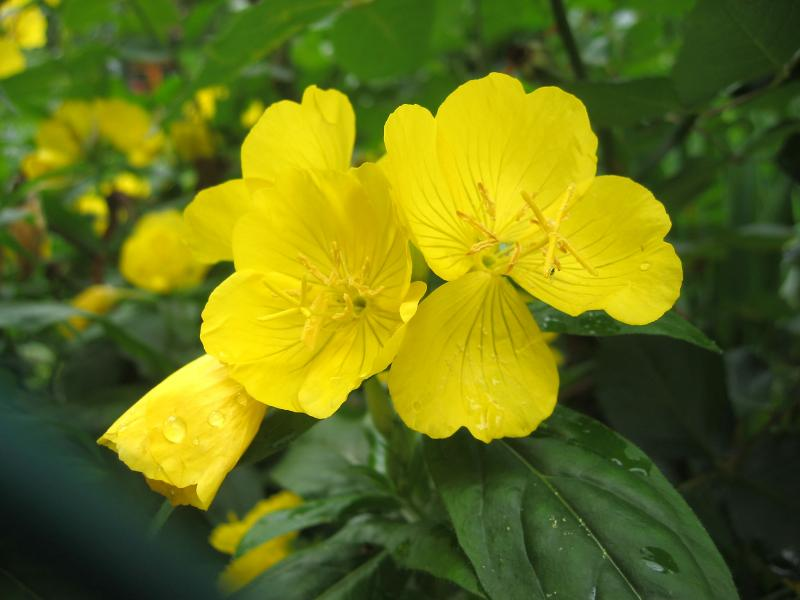 Evening Primrose also Known as Sundrop
