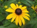 Blackeyed Susans - Rudbeckia or Coneflower