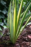 Variegated Iris Foliage