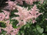 Astilbe Feathers