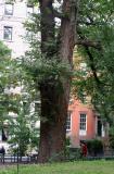 English Elm on Northwest Corner of the Park