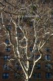 London Plane Tree & NYU Residence at 4th Street & WSW