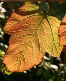 Viburnum trilobum - Highbush Cranberry at the Golden Swan Garden