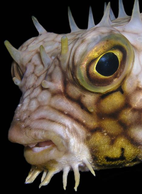 toothy web burrfish