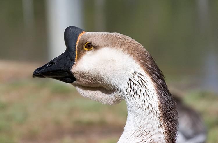 goose-head.jpg