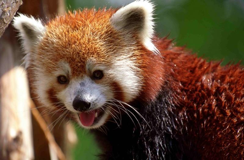 wet red panda