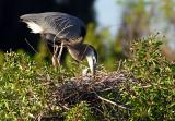 great blue heron. mother and chick