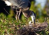 great blue heron chick. up close