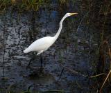 great egret. in a hurry