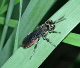 Sand-loving Wasp