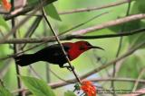 Crimson Sunbird (Male)