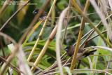 White-bellied Munia   Scientific name - Lonchura leucogastra   Habitat - Common, ranging from forest to ricefields.