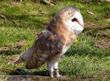 Owl crop
