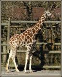 Giraffe-7978