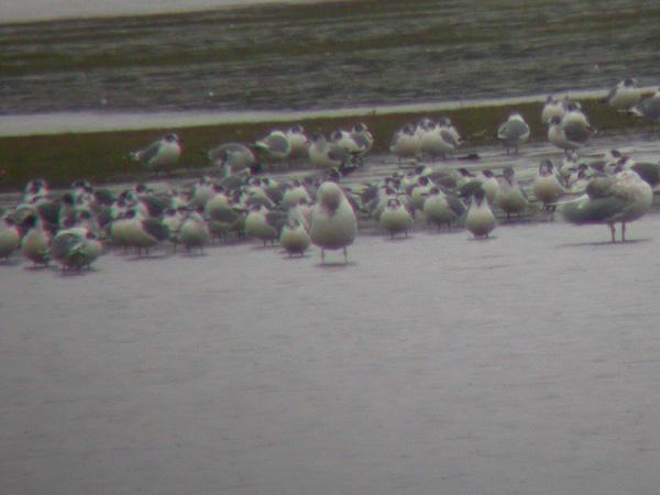 Franklins Gulls