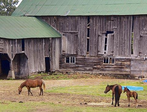 Horses in Barnyard