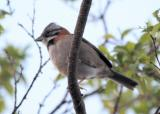 (4) Rufous-collared sparrow
