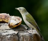 (8) Tennessee Warbler
