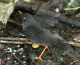 (10) Sooty Robin