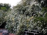 Banksia Roses...2 White and 1 Yellow