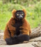 Who Me???...I am Lemur