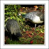 Stourhead ~ peahens