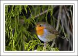 Robin 05 ~ Stourhead