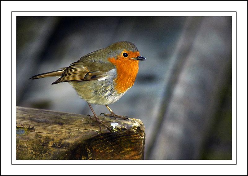 Robin 03 ~ Stourhead