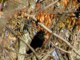 Black bird.jpg(282)