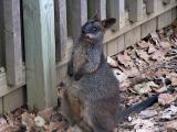 Wallaby (I think).jpg(166)