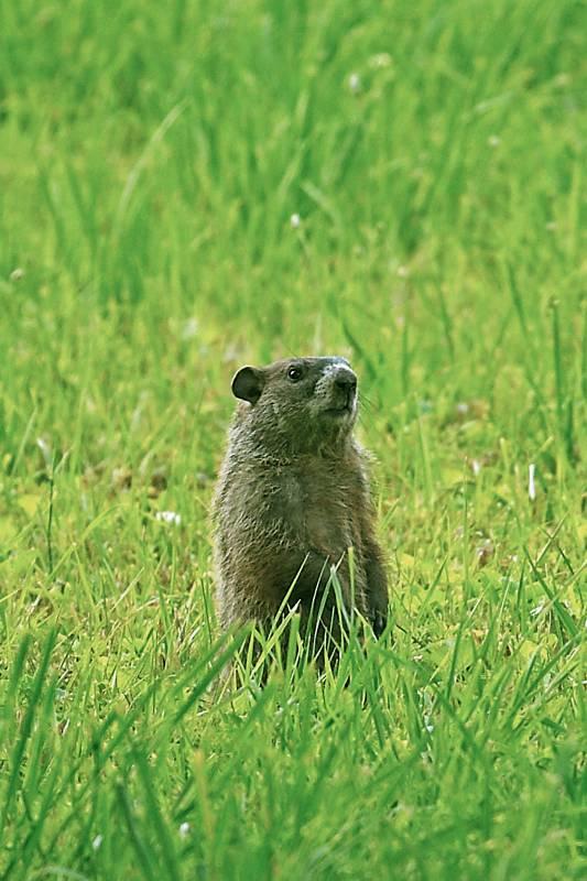 Groundhog Sits Up