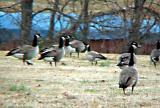 Richardson's Goose