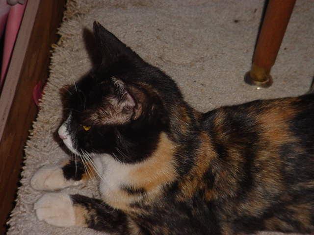 Heidi the cat