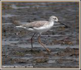 Marsh Sandpiper (Chevalier stagnatile)