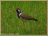 Red-wattled Lapwing (Vanneau indien)