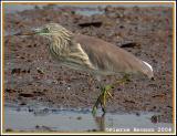 Chinese Pond Heron (Crabier chinois)