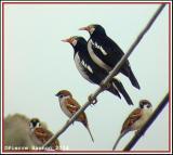 Asian Pied Starling (Étourneau pie)