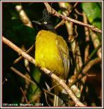 Black-crested Bulbul (Bulbul à tête noire)