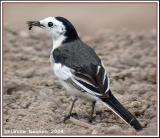 White Wagtail (Bergeronnette grise)