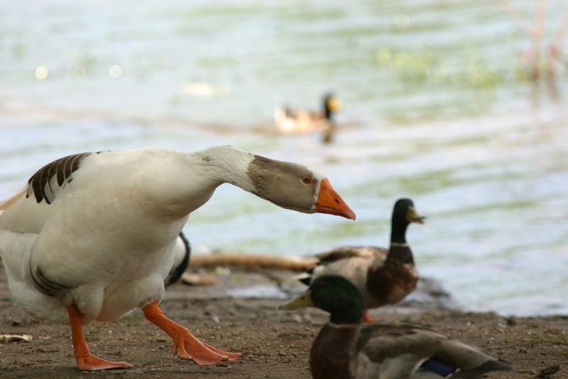 Angry_Goose2.jpg